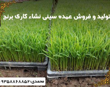 فروش عمده سینی نشاء کاری برنج