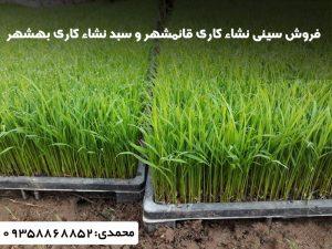 سینی نشاکاری برنج در قائمشهر،وبهشهر