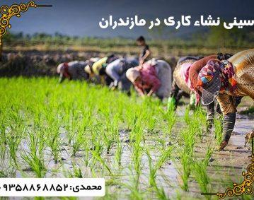 سینی نشاکاری برنج مازندران