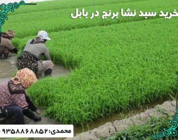 خرید سبد نشا برنج بابل