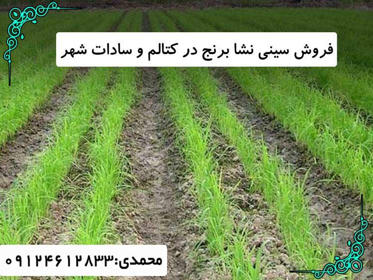 خرید سینی نشا برنج کتالم-سادات شهر