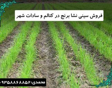 فروش سینی نشا برنج در کتالم و سادات شهر