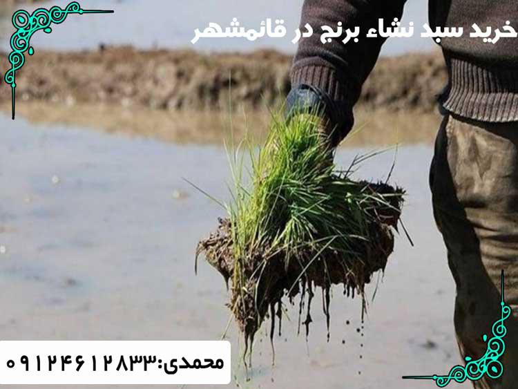 خرید سبد نشاء برنج در قائمشهر